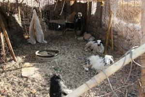 kozy popri ťavách sú jedným z mála živočíchov schopných prežiť spolu s beduínmi v púšti